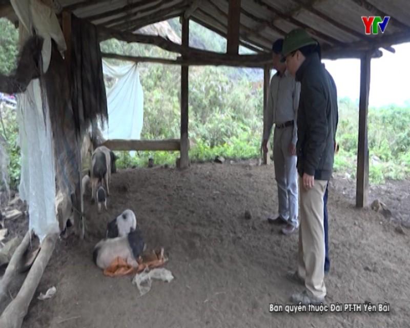 Trạm Tấu phát hiện thêm gia súc nhiễm bệnh lở mồm long móng tại xã Túc Đán